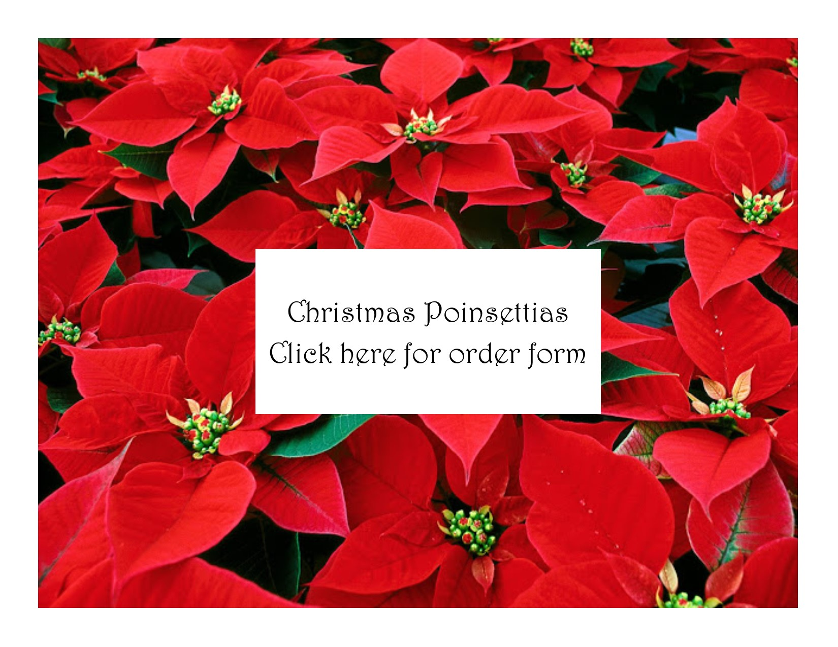 christmas poinsettia order form button